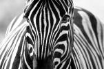 Zebras: Streifen