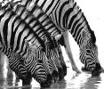 Zebras: Durst