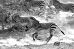 Zebras: Flucht