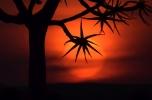 Köcherbaum vor Sonnenuntergang