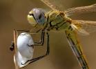 Heidelibelle auf Schneckenhaus