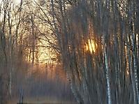 Wintersonne hinter Birken