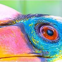 Bild 11 - Runzelhornvogel