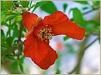 Bild 11 - Granatapfelblüte