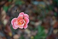 Bild 04 - Novemberrose