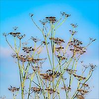 Bild 09 - Fenchel-Samenstand