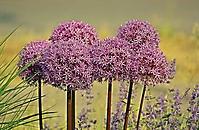 Bild 06 - Allium