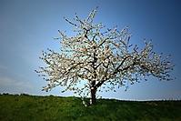 Bild 05 - Kirschblüte